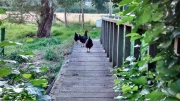 chickens on bridge